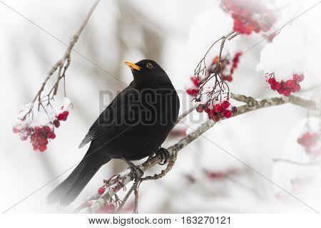 a male blackbird eating berries fram a rowan