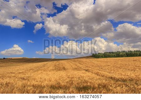 RURAL LANDSCAPE SUMMER.Between Apulia and Basilicata: hilly landscape with cornfield dominated by a clouds.ITALY. Olive grove on a hill between fields of grain.