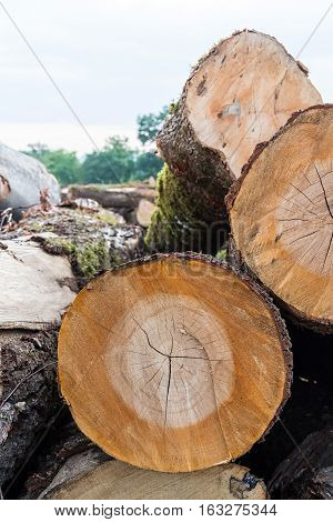 Harvesting timber logs in a forest in Russia