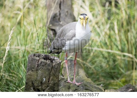 Masked Lapwing (Vanellus miles) hiding in the bush. Exotic bird with yellow head