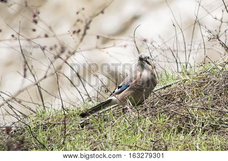 The Eurasian jay (Garrulus glandarius) among the lush grass