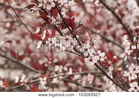 Cherry blossoms background of Spring pink flowers.