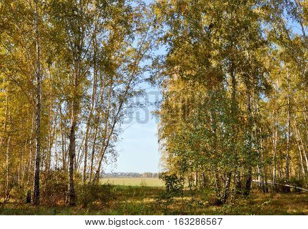 Landscape early autumn. Glade with yellow grass and leaves on the background of autumn birch grove in the distance field and village. West Siberia