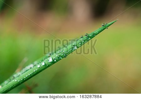 Close-up exotic plant leaf with water drops , Beautiful green grasses texture with drops of water