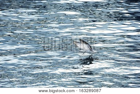 Flying seagull. Winter escape seagull from Malta while swoop on water.