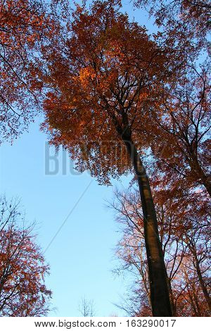 Autumn reddish  color on a treetop in November