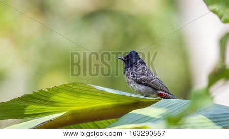 Red-vented bulbul in Minneriya national park, Sri Lanka ; specie Pycnonotus cafer family of Pycnonotidae