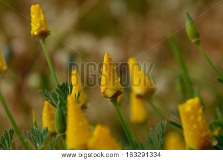 Closed flowers with morning raindrops, orange poppies, eschscholzia californica poster