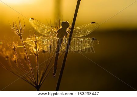 Net dragonfly wings catch the last rays of the sun