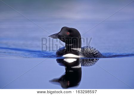 Common Loon swimming in lake with nice blue water, reflection
