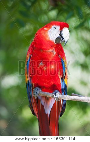 Close up of red ara parrot head in tropical habitat