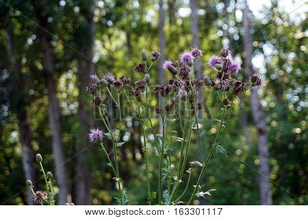 Creeping thistle plants (Cirsium arvense), also called the Canada thistle, bloom in a yard in Harbor Springs, Michigan during August.