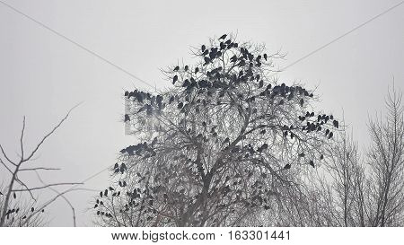 birds sitting on tree, a flock bird of crows