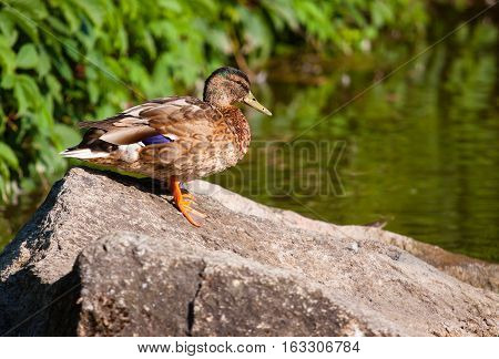 Birds and animals in wildlife. Amazing mallard duck on the stone of park 's pond lake or river landscape under sunlight