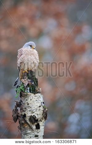 Common Kestrel On Birch