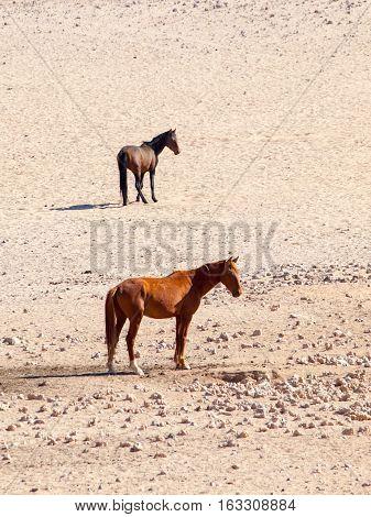 The Namib Desert feral horses herd at waterhole near Aus, Namibia, Africa.