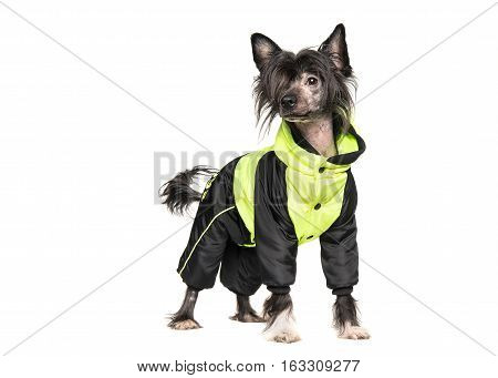 Cute dark chinese crested dog wearing a winter coat isolated on a white background