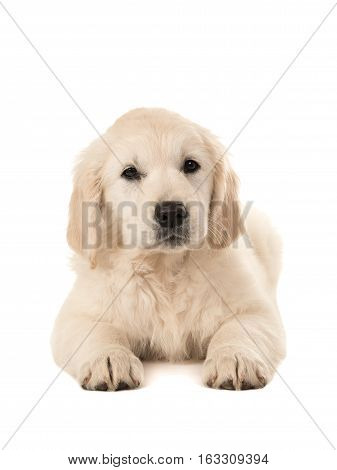 Cute golden retriever puppy lying down facing the camera isolated on a white background