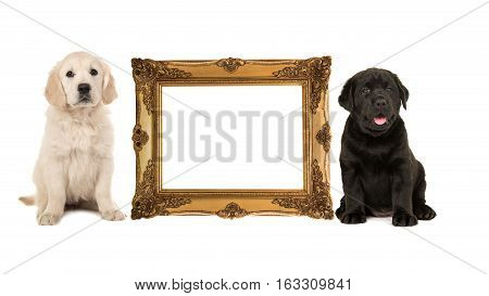 Golden victorian picture frame isolated on a white background with one golden retriever puppy and one black labrador puppy on the side with room for text inside the frame