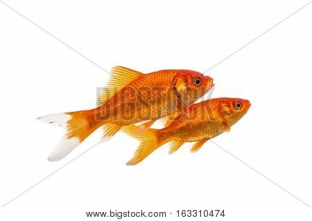 Two swimming goldfish isolated on a white background