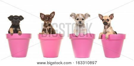 Four cute chihuahua puppy dogs in pink flower pots on a white background