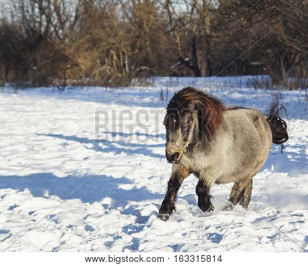 black gray shaggy pony standing on the snow in the winter