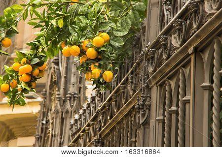 Orange trees with fruits in city Granada
