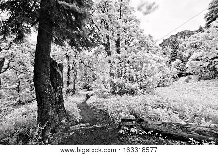 Black and white infrared leaves in a tree