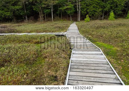 Boardwalk Path Through Swamp Bog in Summer