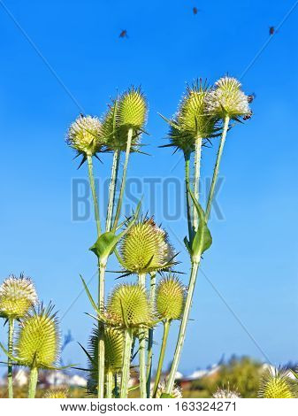 Flowering thistle inflorescence (in Latin: Dipsacus laciniatus) with flying bees on them on the background of blue cloudless sky in summertime