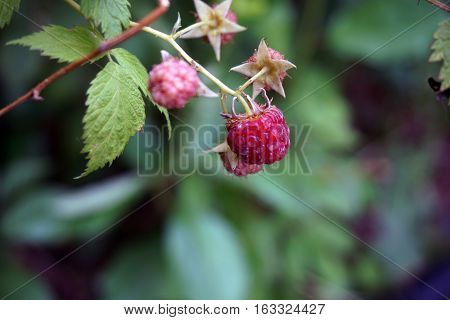 A red raspberry on a raspberry bush (Rubus idaeus) in a garden in Joliet, Illinois during June.