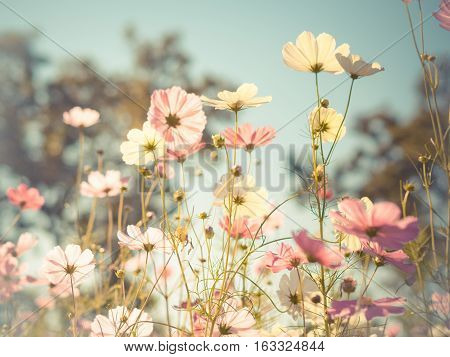 Beautiful cosmos flowers in garden for background. Selective and soft focus blurry. Vintage and pastel tone.