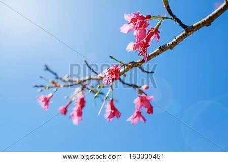 Cherry blossoms under bright vivid blue sky in spring sakura season Tokyo Japan