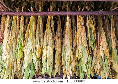 Close up Tobacco leaves drying in the shed.