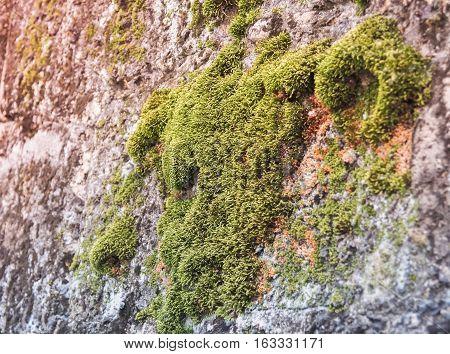 Green mos on the cement wall selective focus . Bangkok, Thailand