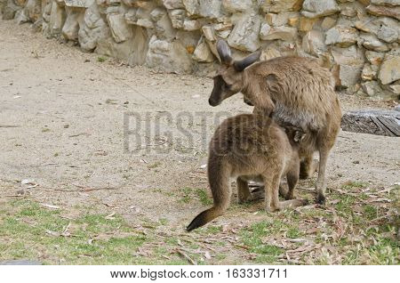 the joey is sticking his head into the pouch to feed