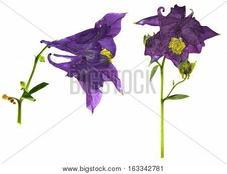 Dry Large Purple And White  Blossom Of Columbine Flower