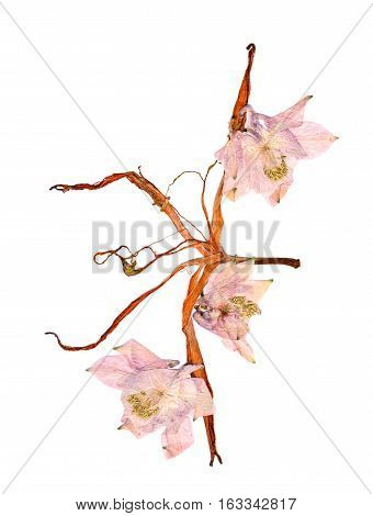 Pressed Multicolor Aquilegia With Extruded Dried Lily Petals
