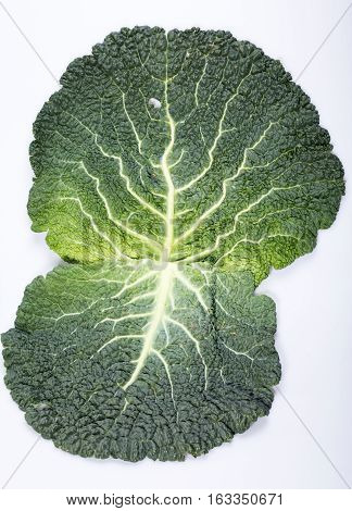 fresh savoy cabbage leaf as a texture