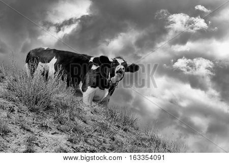 Young cow as a look-out screaming warning to the herd about oncoming enemies.