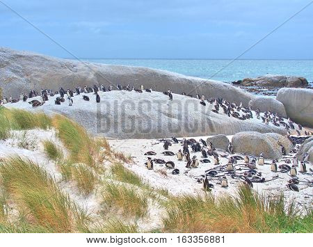 African penguins colony on the beach at Boulders Beach in Cape Peninsula near Cape Town, South Africa. African penguin (Spheniscus demersus) also known as the jackass penguin and black-footed penguin.