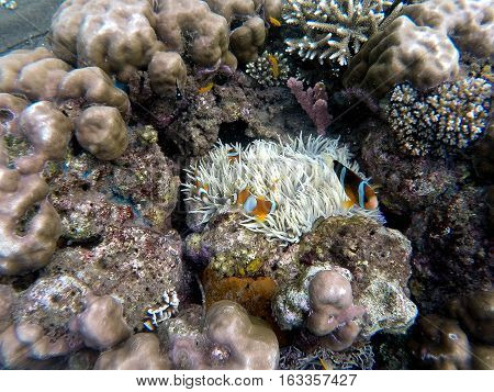 Clownfish in actinia plant inside a round coral. Orange and white striped clown fish. Tropical ecosystem symbiosis. Aquarium fish in wild nature. Sea life in warm climate. Snorkeling in Philippines.