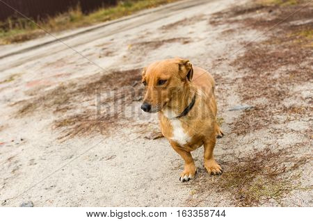 Cute cross-breed short-legged dog waiting for the master on an earth road