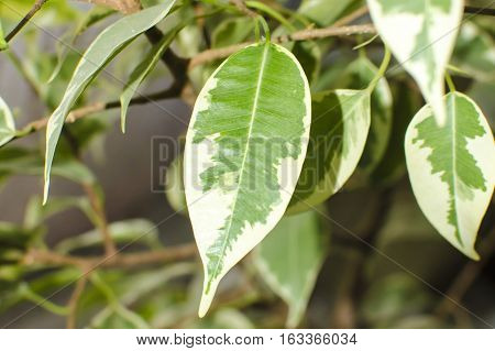 Ficus tree, close-up photo of leaves. Natural background