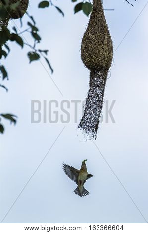 Baya weaver in Minneriya national park, Sri Lanka ; specie Ploceus philippinus family of Ploceidae