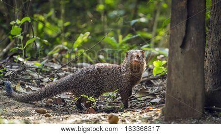 Grey mongoose in Minneriya national park, Sri Lanka ; specie Herpestes edwardsii family of Herpestidae