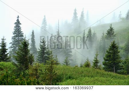 Fog in the forest. Mist shrouded forest. Very beautiful sight. Blue Mist is among the pines and firs.