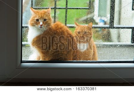 ginger cat looking out the window the window rain cat wants to enter the house