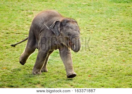 A running elephant calf in the zoo
