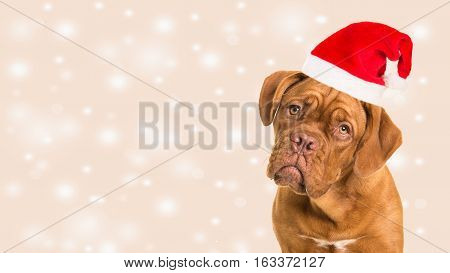 Cute bordeaux dogue portrait facing the camera wearing santa's hat on a christmas bokeh background as a christmas card